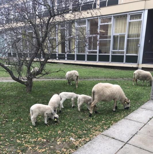 大学の広大な敷地では、羊が草刈りをしています。