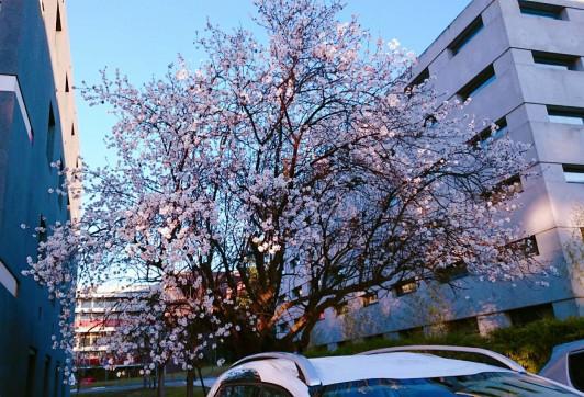 校庭の桜。撮影は2月だが、降り注ぐ太陽の町では毎年この時期に開花する。