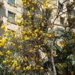 イペーの花(ブラジル・サンパウロ)