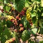 コーヒーの実(ブラジル)。
