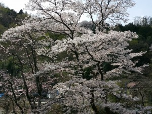 ソメイヨシノがまだ咲き残っていました