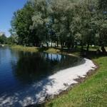 池の風下(かざしも)側には綿毛が白く浮かんでいます